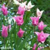 Tulipany China Pink 3