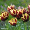 Tulipán Triumph Gavota 3