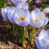 Krokus Blue Pearl chrysanthus 2