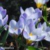 Krokus Blue Pearl chrysanthus 6