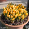 Krokus Golden yellow 3
