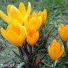 Krokus Golden yellow 4
