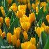 Krokus Golden yellow 1