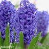 Hyacint Blue Pearl 1
