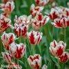 Tulipán Triumph Grand perfection 4