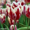 Tulipán Triumph Grand perfection 1