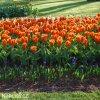 Tulipán Early Harvest 3