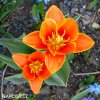 Tulipán Early Harvest