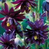 Aquilegia black barlow 03