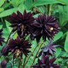 Aquilegia black barlow 04
