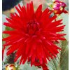 Jiřina Red pigmy 05