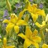 Lilie asijská žlutá - Yellow County
