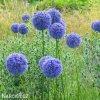 Česnek Allium Caeruleum 2