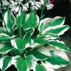 Hosta Patriot 2