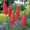 Kniphofia Amazing fun 01