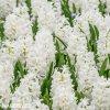 Hyacint - Carnegie