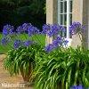 Agapanthus tmavě modrý 4