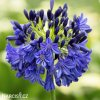 Agapanthus tmavě modrý 1