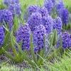 Hyacint - Delft blue
