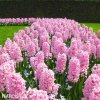 Hyacint - Fondante