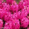 Hyacint - Jan Bos