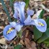 Iris reticulata Alida 2