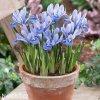 Iris reticulata Alida 1