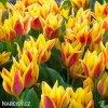 Tulipán Winnipeg 1