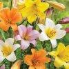 Lilie Trumpet mix 2