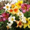 Lilie Trumpet mix 3