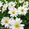 Anemonky Blanda White 2