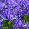 Iris blue magic 2