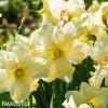 Narcis Cassata 3