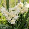 Narcis Erlicheer 4