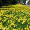 Narcis February gold 4