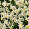 Narcis Ice follies 2