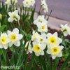 Narcis Ice follies 7