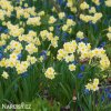 Narcis Minnow 2