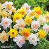 Narcis Mix large flowing 1