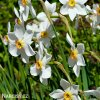 Narcis Pheasant eye recurvus 2