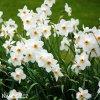 Narcis Pheasant eye recurvus 3
