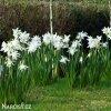 Narcis Thalia 3