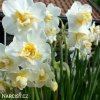 Narcis White cheerfulness 5