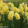 Narcis Yellow cheerfulness 4