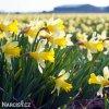 Narcis Topolino 3