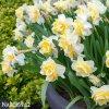 Narcis White lion 4