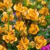 Lilie Apricot fudge 2
