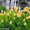 Tulipan Ivory floradale 2