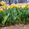 Tulipan Jaap groot 2