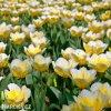 Tulipan Jaap groot 4